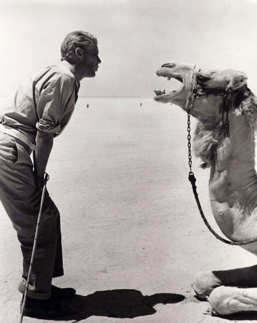 """Peter O'Toole works with his co-star on the set of Lawrence of Arabia (1962, dir. David Lean) """"[In Lawrence of Arabia,] there was a famous scene of a charge in which my face was described by Time magazine as with a look of 'messianic determination' as we charged. …The day of the charge, we were given Moroccan plow camels, who had never had a human being on their hump. We were doing a mile down a shaley hill - 50 camels and 400 horses. It was going to be very dangerous indeed. So I went to the caravan which Omar [Sharif] and I were sharing. As you may know, Omar is a gambling man. He was looking very solemn. He said, 'I'm working up the odds, Peter….whether or not the camel will fall over, or whether I will fall off the camel. The odds on the camel falling over are 6:4 against, but the odds of me falling off the camel are even money.' I saw the sense of that so I asked, 'What do you intend to do?' He said, 'I'm going to tie myself onto the camel.' I thought, well, I don't really fancy being adhered to a camel. So I said, 'I'm not going to do that, Omar. I'm going to get drunk.' And Omar said, 'Oh, I'm going to get drunk as well.' So we got a bottle of brandy and two bottles of milk and we drank the brandy and the milk. And of course by this time we were supremely confident of doing anything. So he was tied to the camel. Off went the rockets - boom! - and of course the camels, out of sheer terror, bolted. And this look of 'messianic determination' on my face was, in fact, a drunk actor."""""""