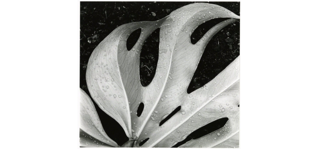 Brett Weston Leaf and Rain Drops, 1979 Gelatin silver print 106 3:10 × 116 1:10 in 270 × 295 cm