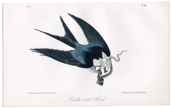 """John James Audubon, American Swallow-Tailed Kite (Elanaides forficatus), 1821. Watercolor, graphite, pastel, and selective glazing with brown ink inscriptions on paper, 20 5/8"""" x 28 7/8""""."""