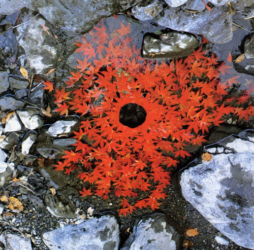 Andy Galsworthy Earth Art Sugar Maple Leaves